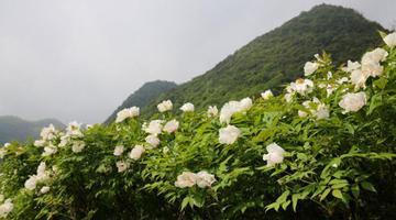 陕西石泉县:秦岭深山藏着千亩牡丹
