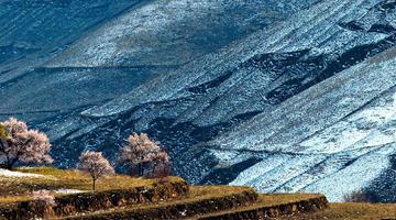 定边:春花遇春雪 黄土高原生机盎然