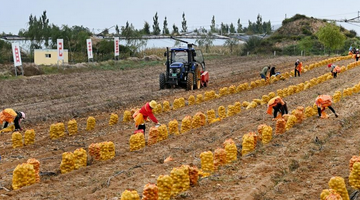 陕西靖边:科技创新打造塞上新农城