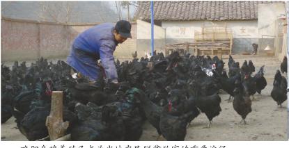 略阳乌鸡养殖已成为当地农民脱贫致富的重要途径