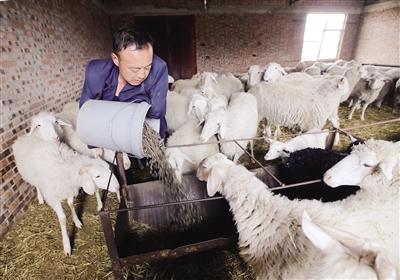 没了双臂,刘斌凭着顽强的毅力养羊致富