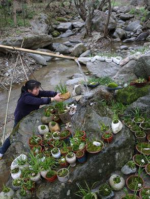 农妇秦岭小溪里养菖蒲盆景