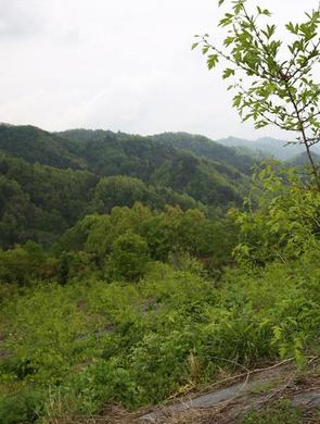 山村种山楂无花果 乡村游新景观