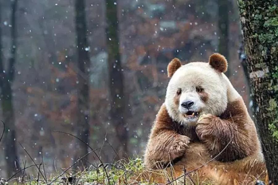 世界唯一棕色大熊猫娶媳妇了