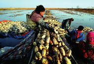 黄河滩上挖藕人