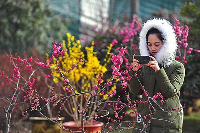 春节来西安植物园看梅花 赏濒危植物羽叶报春