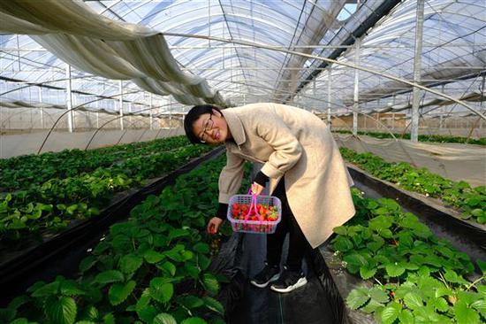 林亚萍以新技术培育生态草莓