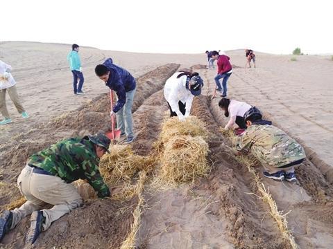 志愿者在压制麦草格制作沙障。