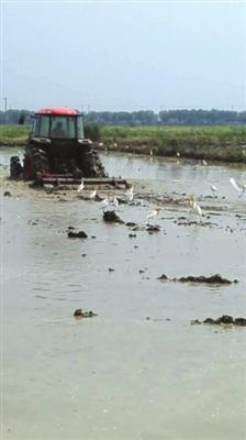 水鸟跟着耕田农民在水田中寻找食物。 邱悦兰摄