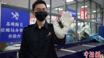 """苏州海关截获活体""""宠物甲虫"""""""