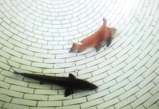 救护池内的中华鲟和胭脂鱼