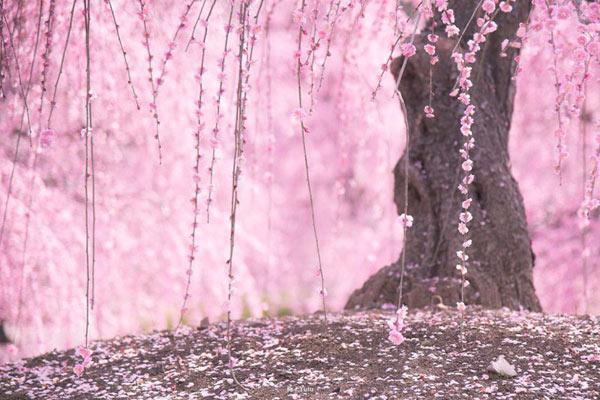 绝美花季前奏曲 摄影师用镜头记录日本梅花盛开美景