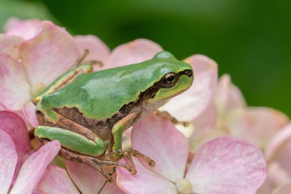 伴随雨季到来的精灵 花团之上的青蛙王子