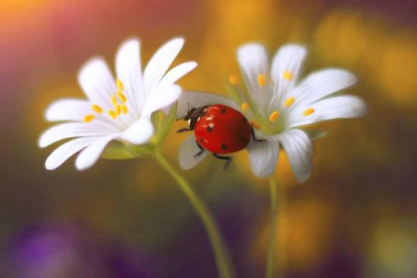 可爱渺小的卫士 七星瓢虫的迷你写真