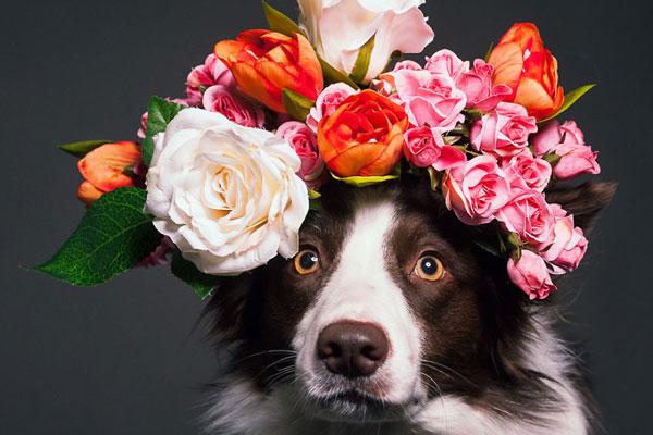鲜花围绕的汪星人 捕捉宠物狗的精彩瞬间