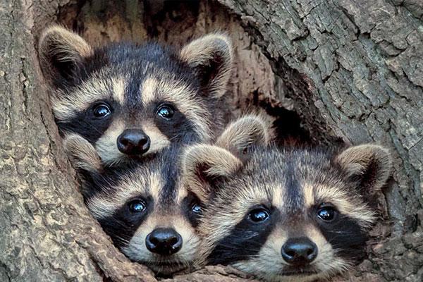 吃瓜群众小浣熊 萌态十足的可爱小动物