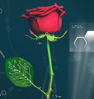 电子玫瑰诞生:能像显示器一样变色