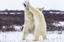 两北极熊推搡打斗:你推我打如职业拳击手