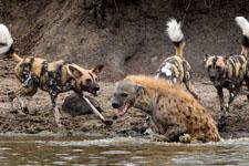 南非落单鬣狗被野狗群逼迫跳河