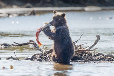 爱心课堂:7月大幼熊跟妈妈学捕鱼