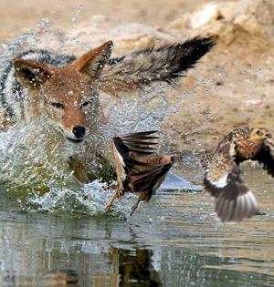 豺狼捕食飞鸟震撼瞬间