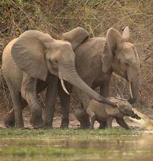 非洲幼象遭鳄鱼咬鼻子被母象救出