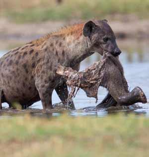 狡猾土狼沼泽中藏象腿白天挖出