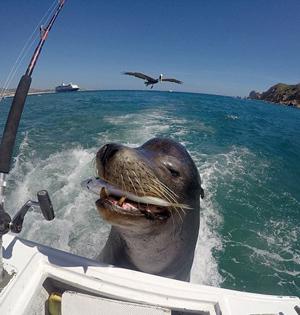 墨聪明海狮尾随渔船享用免费午餐