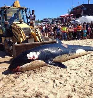 虎鲸海滩搁浅死亡 胃里塞满垃圾