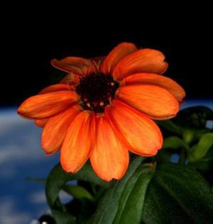 国际空间站百日菊首次开花
