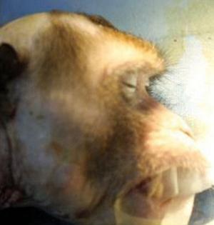 外媒称中国研究员成功为猴子换头