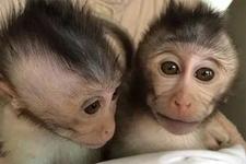 中国研究团队繁育转基因猴子:探索治愈自闭症