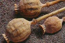 流言揭秘:罂粟真的不能用作食品佐料吗?