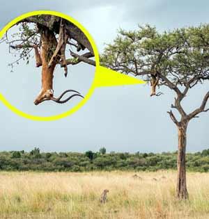 肯尼亚猎豹将猎物挂树上防被盗