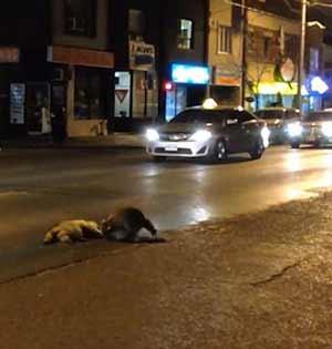 绝望浣熊路边欲唤醒被车撞死同伴