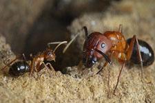 科学家药物控制蚂蚁遗传活动:改变其觅食行为