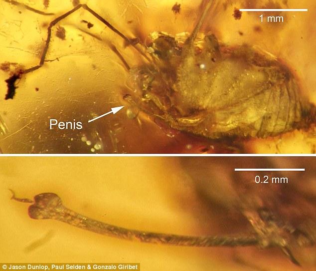 疯狂勃起的盲蜘蛛遭琥珀封印:生殖器结构特殊