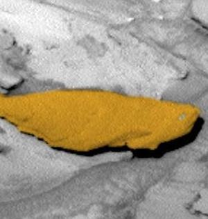 """好奇号火星拍奇特岩石似""""石化鱼"""""""