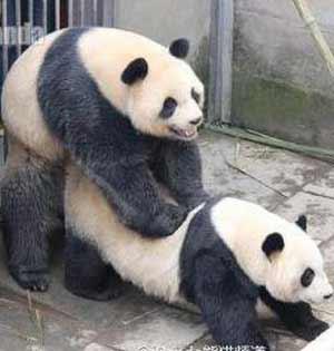 大熊猫采精直播:自然造熊难度大
