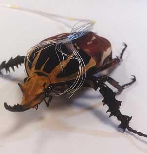 半机械昆虫研制:向肌肉植入电极