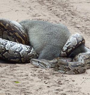 南非巨型蟒蛇吞食长尾猴