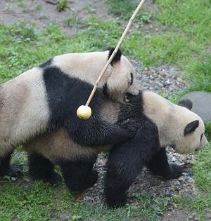 工作人员用棍子帮助大熊猫交配