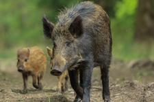 核污染野猪流窜福岛核电站:肉含超标放射性元素