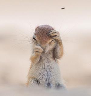 松鼠赶走苍蝇时表情可爱