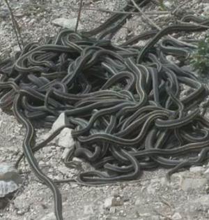 红边束带蛇交配:缠绕雌性成交配球
