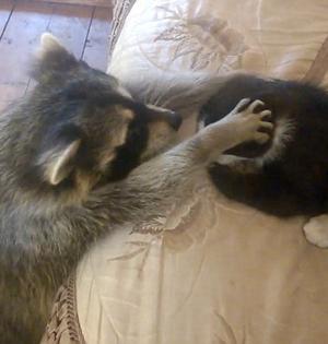 浣熊跑到居民家中:想和小猫做朋友