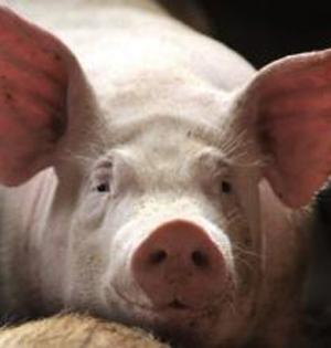 日放开猪等动物细胞移植人体限制