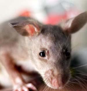 手机辐射是否致癌?老鼠实验引争议