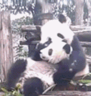 GIF趣图:这是亲生的熊猫宝宝吗