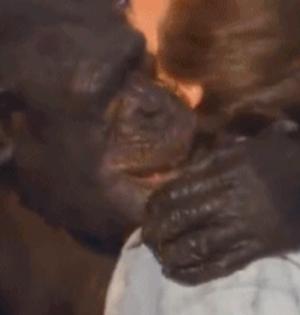 GIF趣图:黑猩猩18年后仍认识恩人